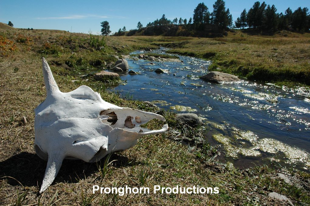 Bison Skull and Stream