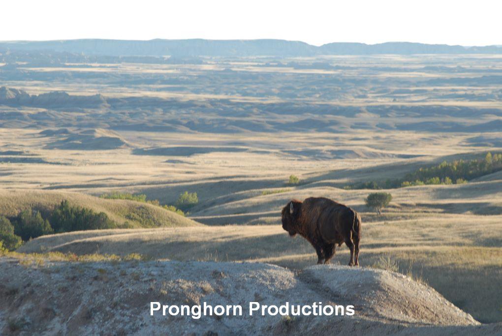 Bison and Badlands