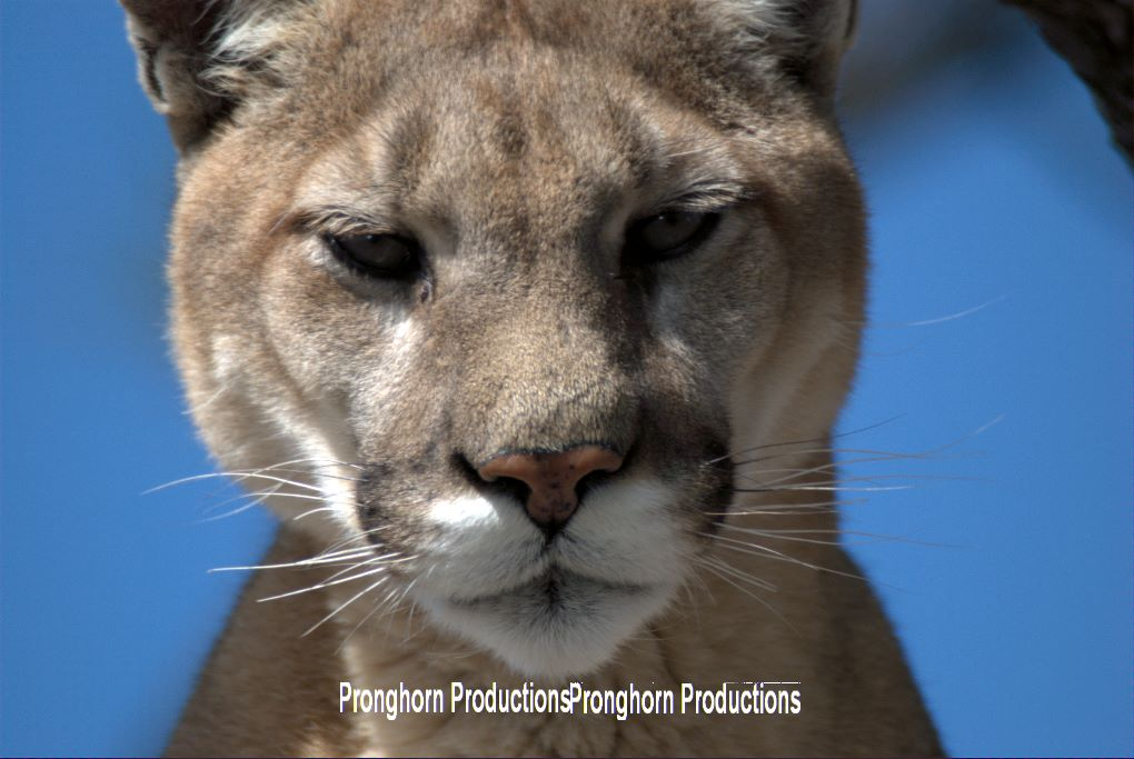 Mountain Lion Closeup
