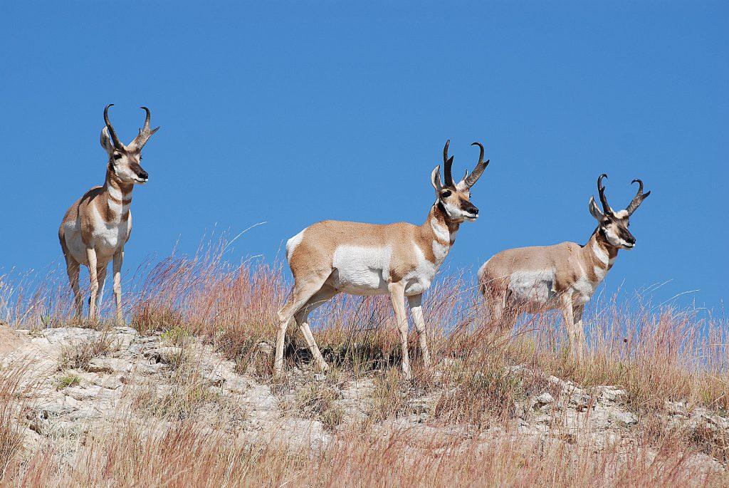 Pronghorn Bucks on Hill