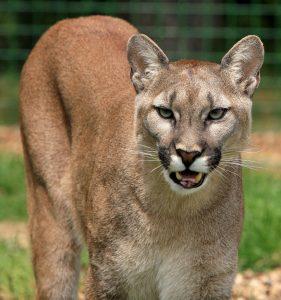 cougar, mountain lion, big cat-275946.jpg